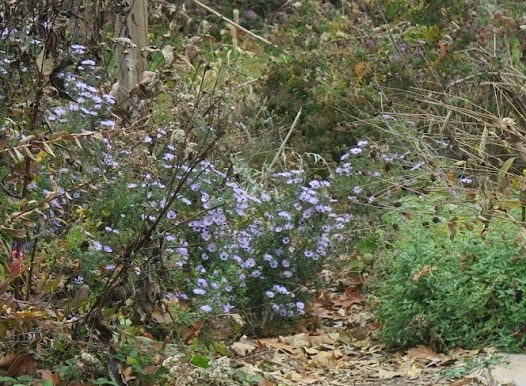 aromatic aster provides important late season blooms
