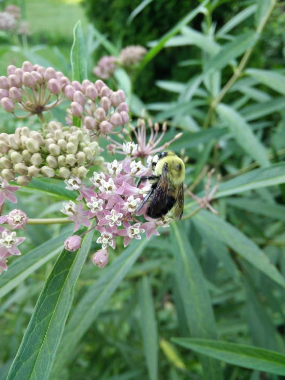 Rose or Swamp milkweed, a plant beloved by many insects