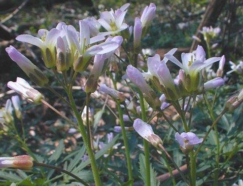 Toothwort, Cardamine concatenata