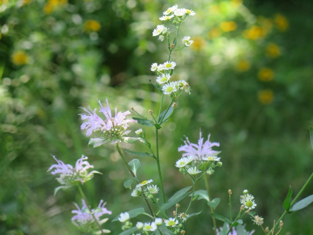 Bee balm and annual fleabane