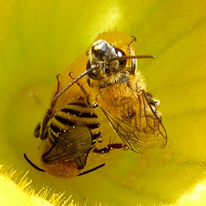 Squash pollen on squash bees