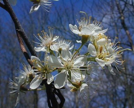 Wild plum, Prunus americana