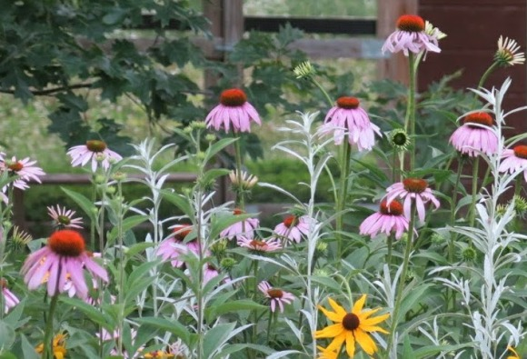 Purple coneflower mixed with prairie sage