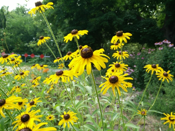 Black-eyed susan, readily self sows and makes for an exciting, unexpected garden at times