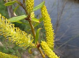 Black willow, Salix nigra, catkins