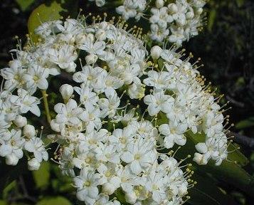 Blackhaw, Viburnum prunifolium
