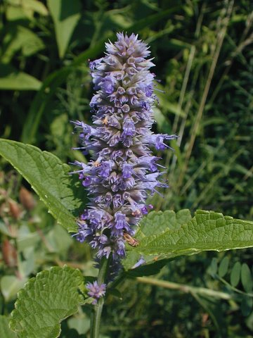Anise hyssop, a long blooming favorite in the pollinator garden