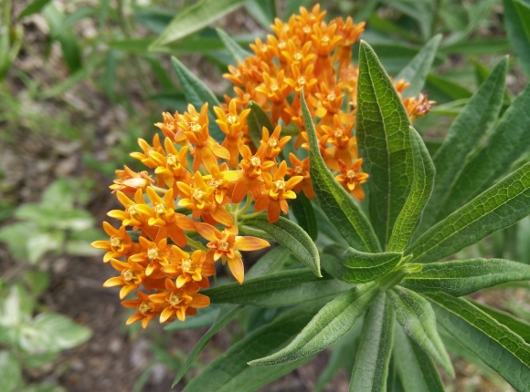 bright orange butterflyweed, a milkweed much needed by Monarch butterflies