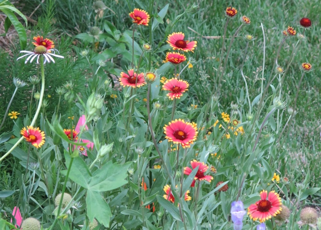 Blanket flower, a long-blooming red flower for the pollinator garden