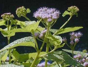 mistflower for the pollinator garden