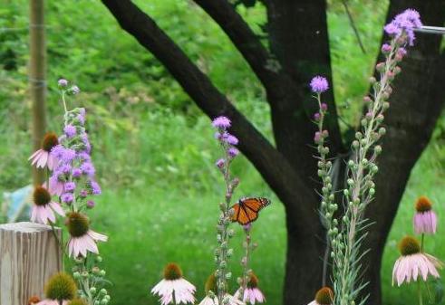 Meadow blazingstar, the Monarch magnet