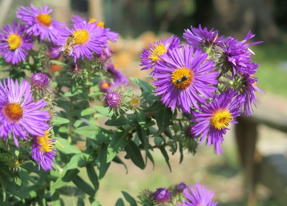 pollinators love New England aster