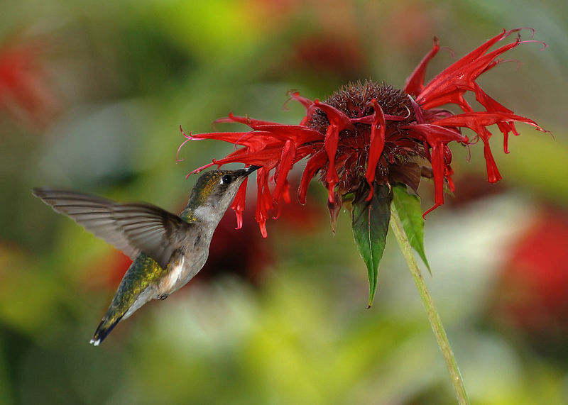 A female Ruby-throated Hummingbird (Archilochus colubris) visiting scarlet beebalm (Monarda didyma).  Photo by Joe Schneid
