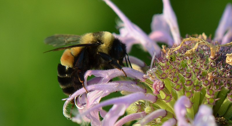 Rusty-patched Bumblebee (Bombis affinis) on beebalm (Monarda fistulosa)