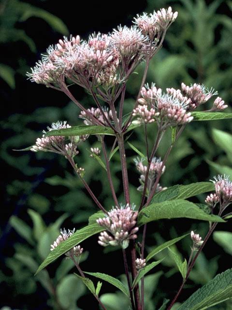 Sweet Joe Pye weed, great pollinator plant