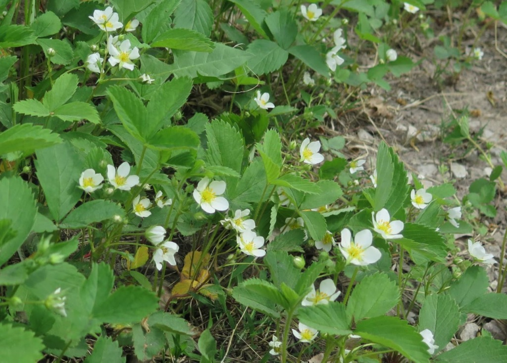 Wild strawberry, bright  white blossoms are so cheerful in early spring.