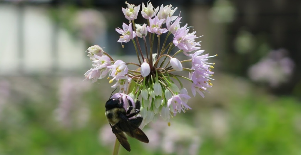 A bumblebee visits nodding onion flowers