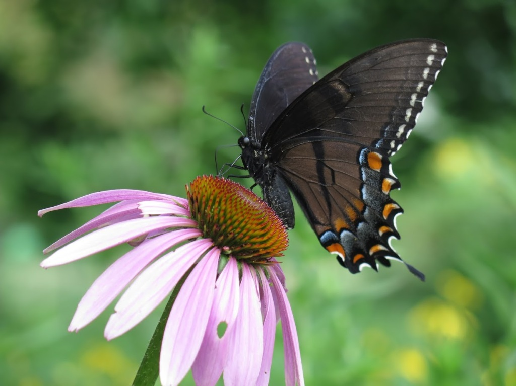 A female Eastern tiger swallowtail visits a purple coneflower
