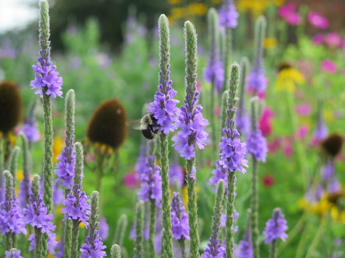 A bumblebee visits hoary vervain