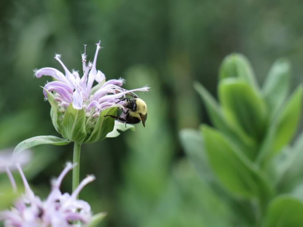 a bumblebee visits a Monarda fistulosa flower