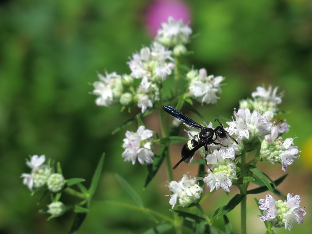 A wasp visiting mountain mint flowers