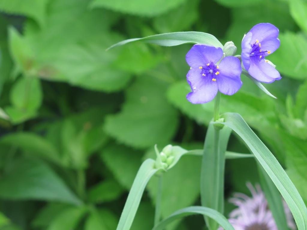 Ohio spiderwort flowers, Tradescantia ohiensis