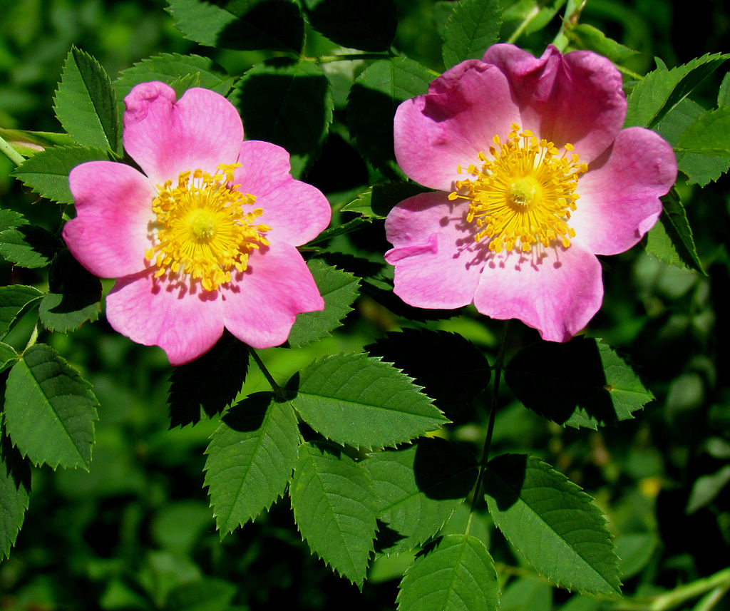 Carolina rose flowers, Rosa carolina