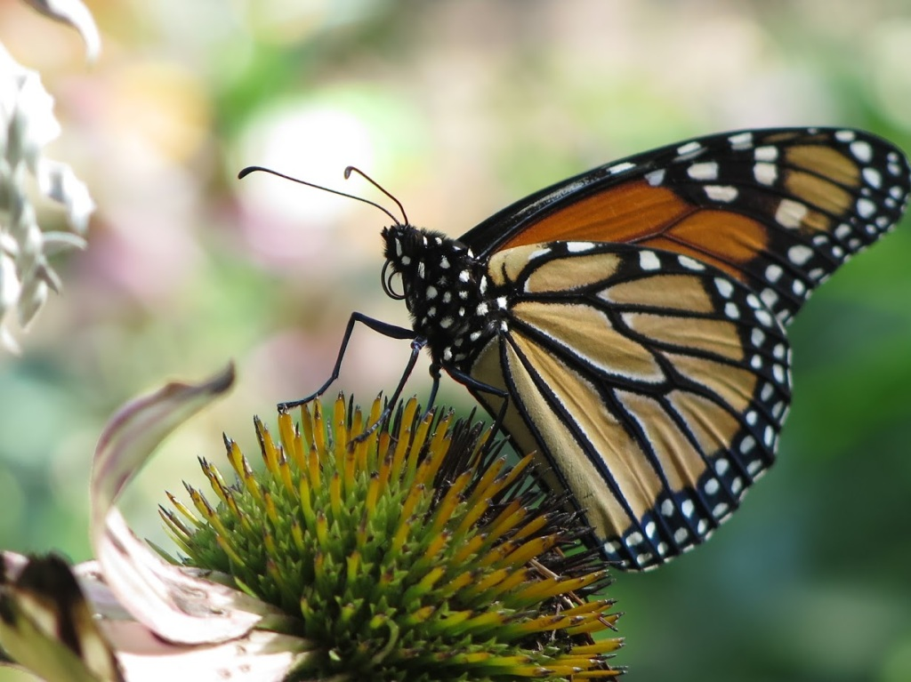 Monarchs have wonderful polka dots on their bodies.