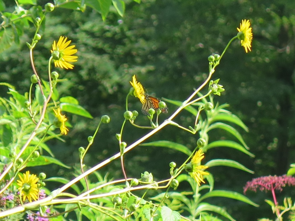 Monarch butterfly visiting prairie dock.