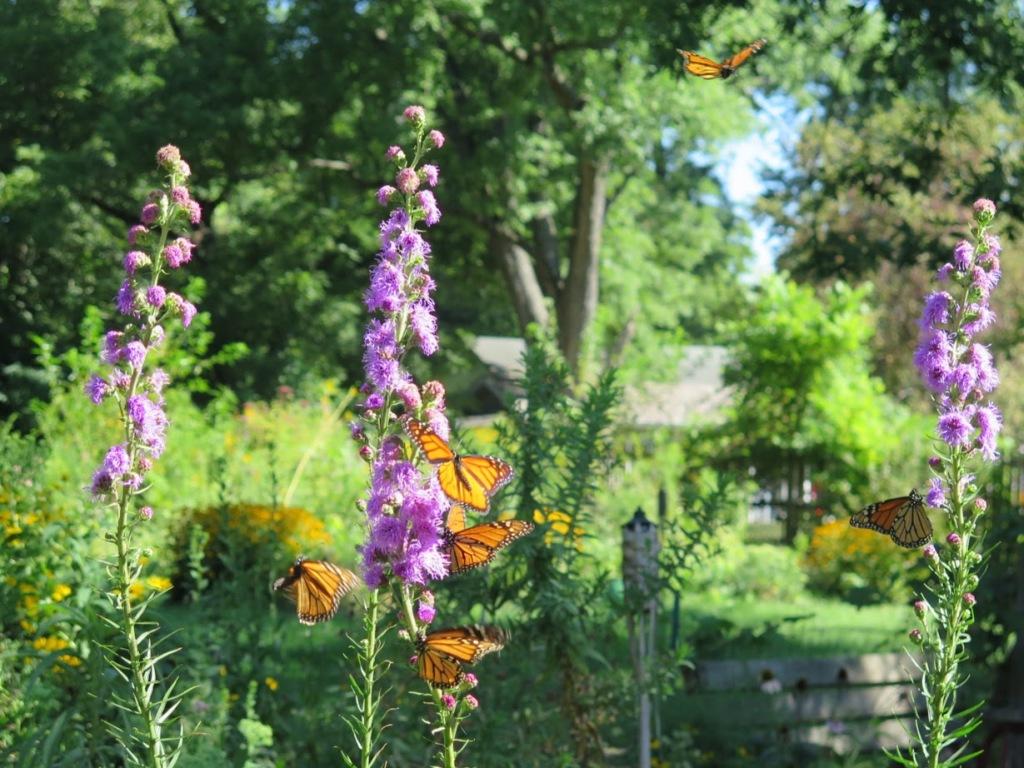 Monarchs on their favorite flower, meadow blazing star, Liatris ligulistylis