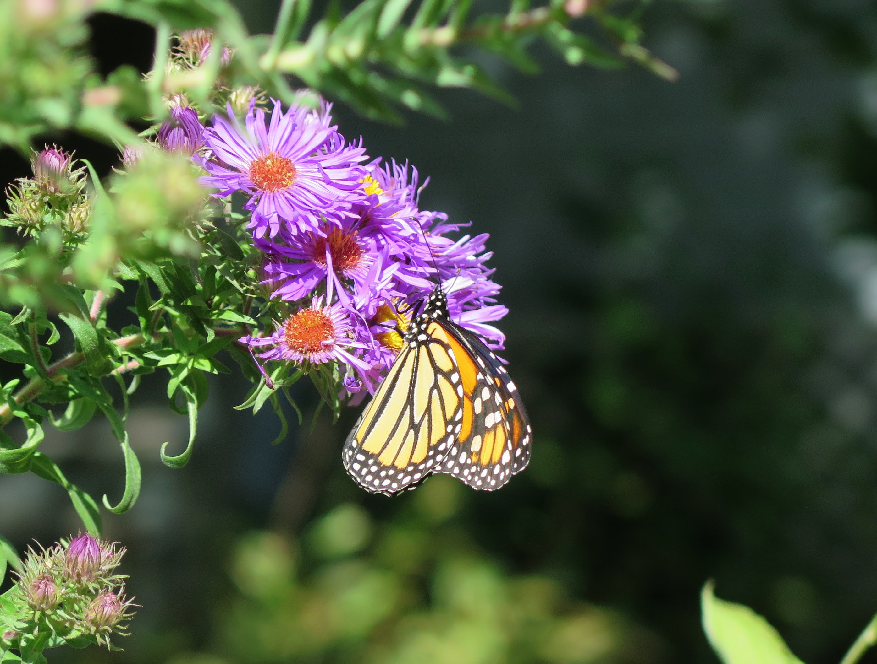A monarch visiting New England aster