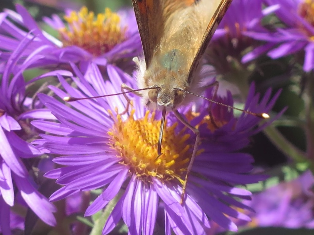 A painted lady butterfly visiting a New England aster flower.  Ray and disc flowers are open.