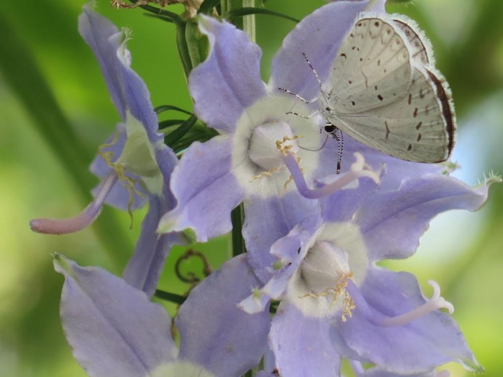 A summer azure butterfly resting on a tall bellflower