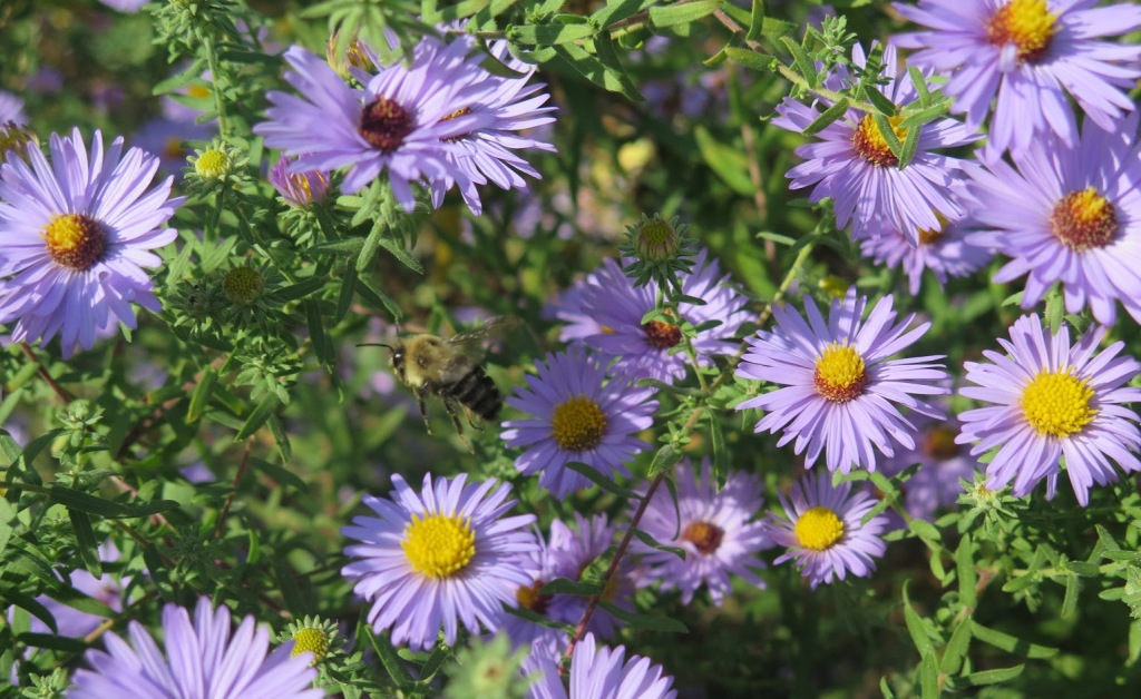 Aromatic aster still blooming while a bumblebee flies by.