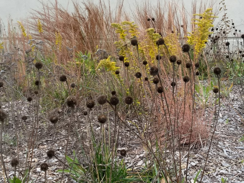 Dark dried tennessee coneflowers contrast the plants behind them.