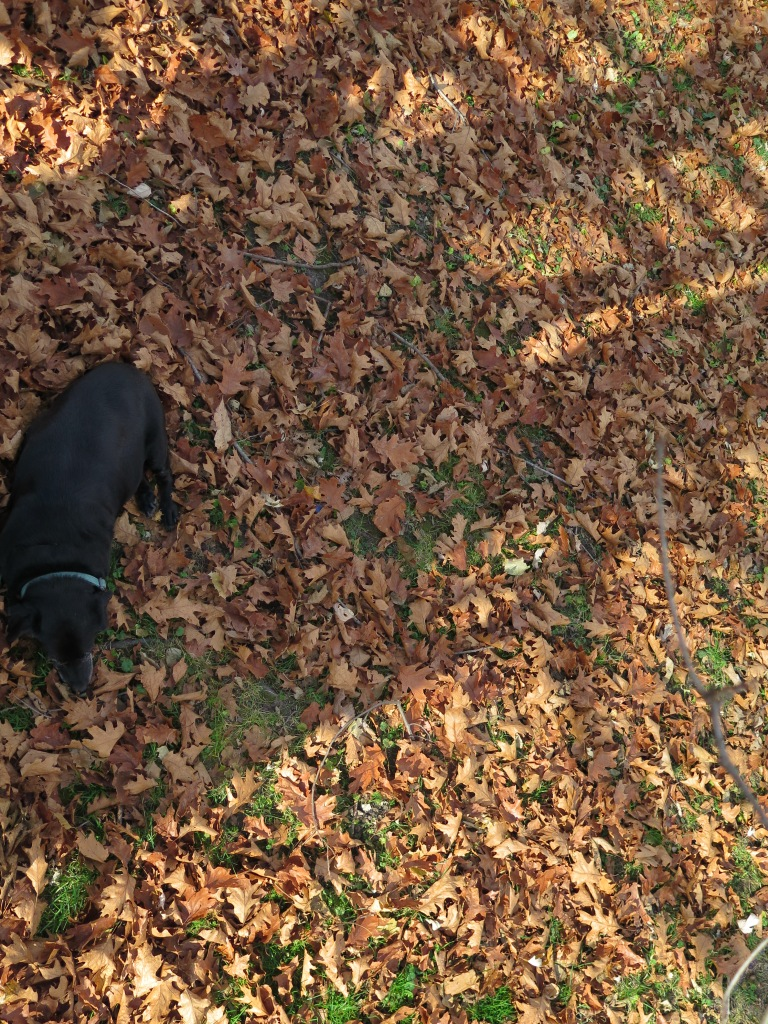 Our dog resting in the oak leaves