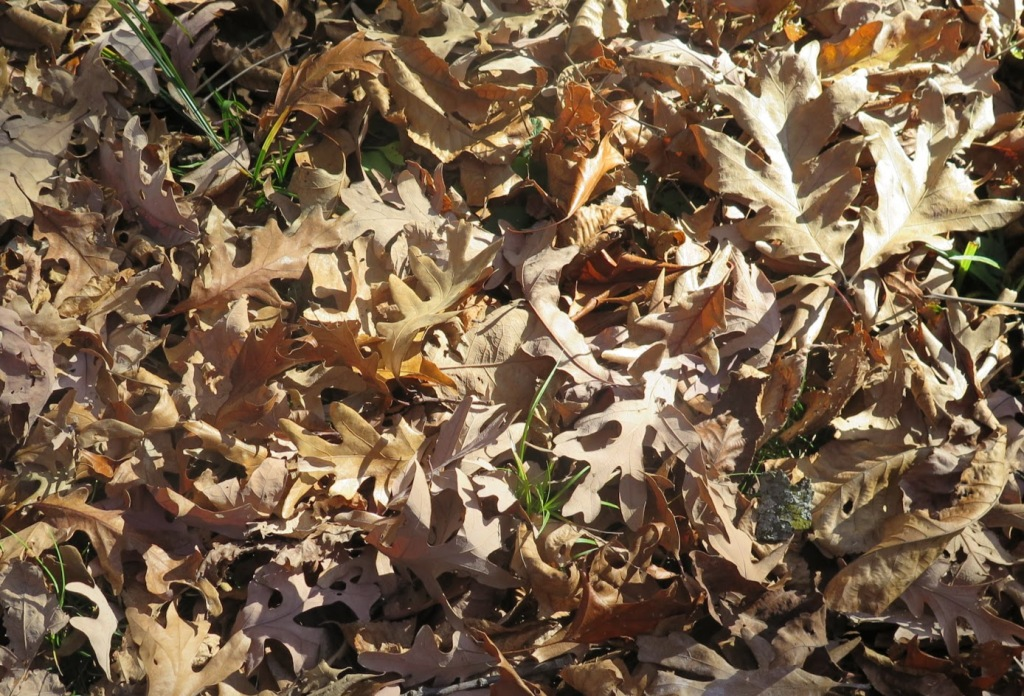 White oak leaves on the ground